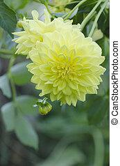 Yellow dahlia flower. Dahlia yellow flower in garden
