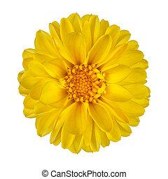 Yellow Dahlia Flower Isolated on White