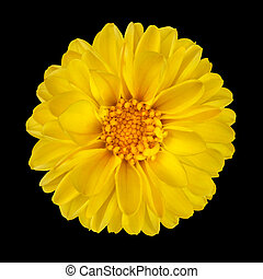 Yellow Dahlia Flower with Yellow Center Isolated