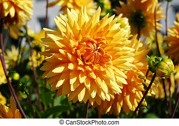 Yellow dahlia in the garden - Some beautiful yellow dahlia ...