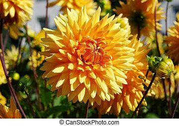 Yellow dahlia in the garden - Some beautiful yellow dahlia...