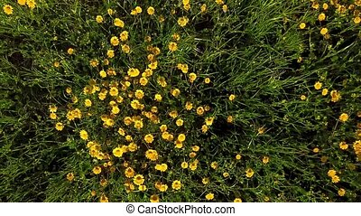 Yellow daisies field - Aerial view of yellow daisies field,...
