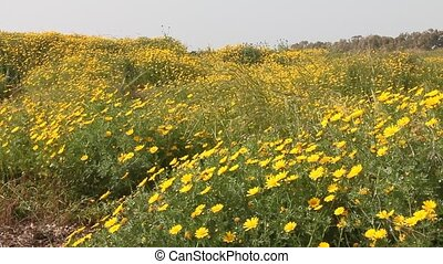 Yellow daisies field