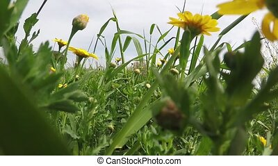 Yellow Daisies Field - Walking in a field with yellow...