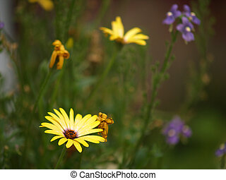 Yellow Daisies Growing in a Green Field