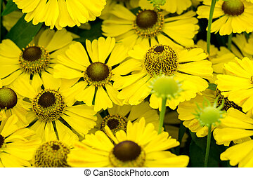 Yellow Daisies in the Garden
