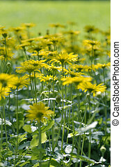 Yellow daisies, Leopards Bane flower Doronicum blooming in spring