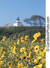 Yellow Daisies near Cabrillo Lighthouse along California ...