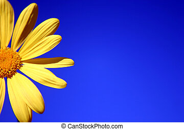 Yellow Daisy against a bright blue sky background
