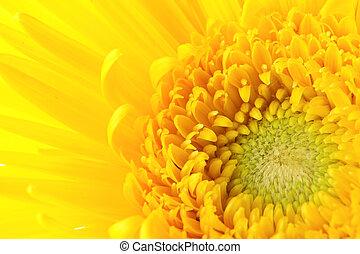 Yellow daisy close up