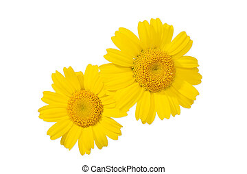 Yellow daisy flower isolated on white background. Glebionis segetum