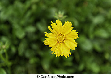 Yellow Daisy flowers are blooming in the field