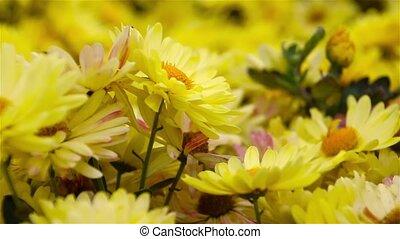 Yellow Daisy flowers in the garden. Panorama. Macro.