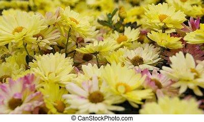 Yellow Daisy flowers in the garden. Panorama. - Yellow Daisy...