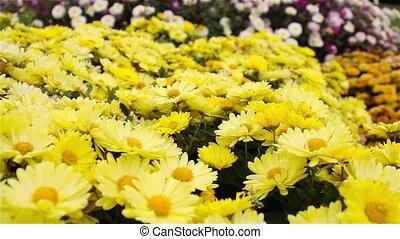 Yellow Daisy flowers in the garden.