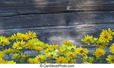 Yellow daisy flowers isolated on blurred grey wooden background.