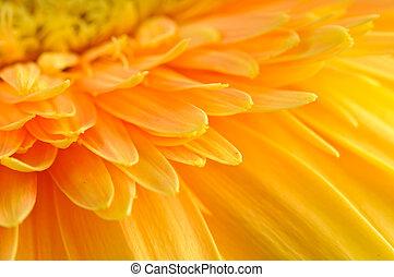 Yellow daisy-gerbera - Close up of yellow daisy-gerbera's ...
