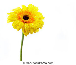 Yellow daisy - Image of yellow daisy isolated on a white ...