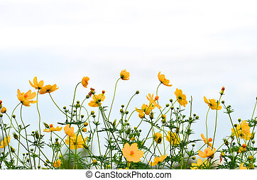 Yellow daisy in the Field