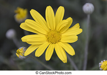 yellow daisy in the garden