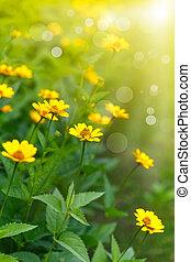 yellow daisy in the sun
