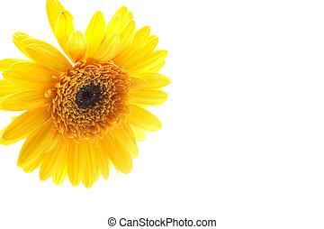 Yellow daisy - Isolated image of yellow daisy on white ...