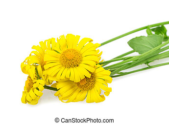 yellow daisy isolated on white background