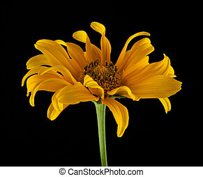 yellow daisy on a black background closeup