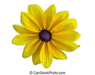 Yellow daisy (Rudbeckia hirta) isolated on the white ...