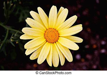 Yellow Daisy taken closeup