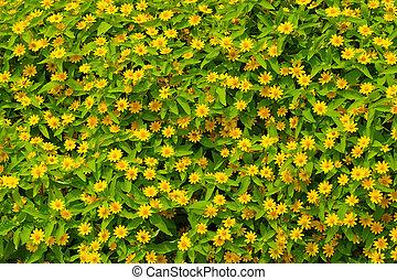 yellow daisy under the morning