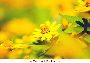 Yellow daisy - yellow daisy, close up shot.