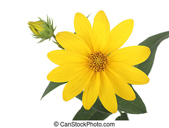 Yellow Daisy - Yellow daisy flower and bud isolated on white