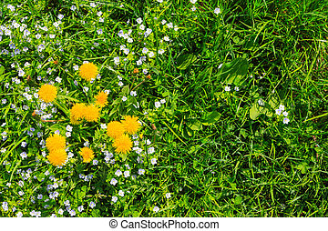 yellow dandelion and white clover flowers