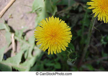 yellow dandelion blooms in spring in the grass