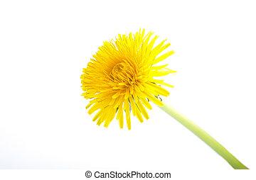 Yellow Dandelion Flower on White Background. Taraxacum Officinale
