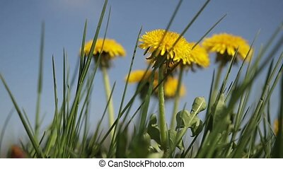 Yellow dandelion flowers among green grass on lawn