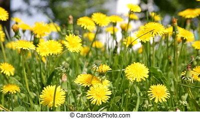 Yellow dandelion flowers field close up