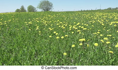yellow dandelion flowers in a field spring. Dolly video