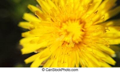 yellow Dandelion flowers turn