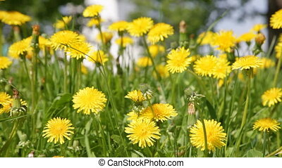 Yellow dandelion flowers with leaves in green grass