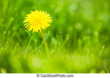 yellow dandelion growing in green grass