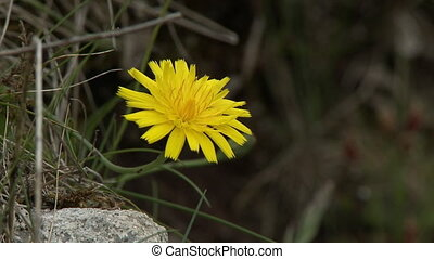 Steady, close up shot of a yellow dandelion in grass.