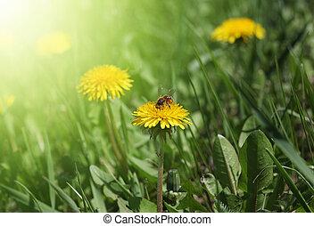 yellow dandelion in green grass