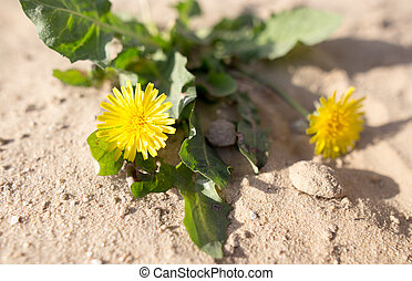 yellow dandelion in the sand on the nature