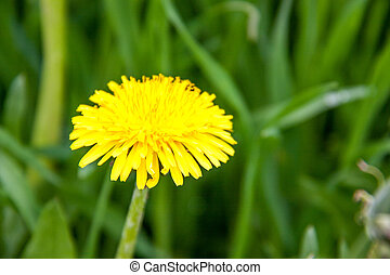 yellow dandelion on a background of green grass closeup macro