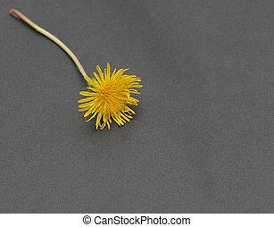 yellow dandelion on a black background