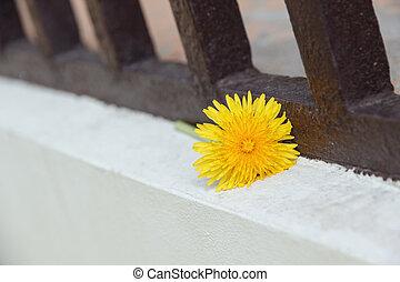 yellow dandelion on balcony floor
