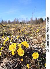 yellow dandelion on spring field