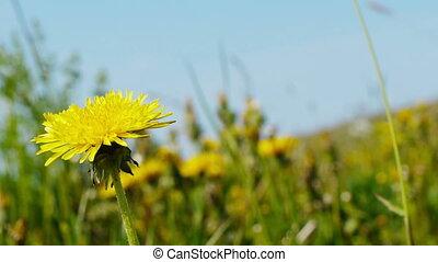 Yellow dandelion swayed in the wind
